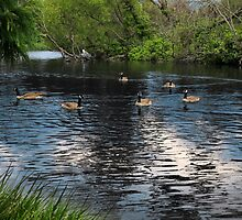 Wild Geese at Stow Lake by David Denny