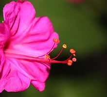 Flourescent Four O'Clock by aprilann