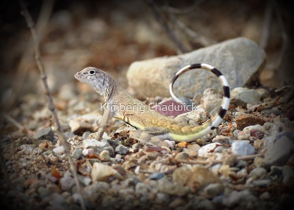 Zebra-tailed Lizard by Kimberly Chadwick
