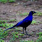 Ruppell's Long tailed starling -  Lamprotornis purpuroterus - Central Serengeti - Tanzania by john  Lenagan