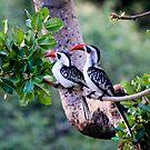 Red-billed Hornbill -  Tockus erythrorhynchus - Central Serengeti - Tanzania by john  Lenagan
