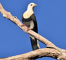 Banded Fruit-dove taken at Kakadu by Alwyn Simple