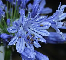 Agapanthus after the Rain by AnnDixon