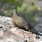 Chestnut-quilled Rock-pigeon taken in Kakadu by Alwyn Simple
