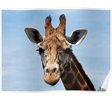 Giraffe profile head shot Poster