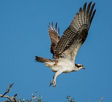 Osprey Taking Off From The Tree Tops by imagetj