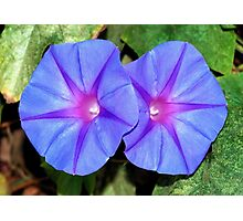 Vivid Blue, Purple and Pink Ipomoea Flowers Photographic Print