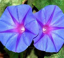 Vivid Blue, Purple and Pink Ipomoea Flowers by taiche