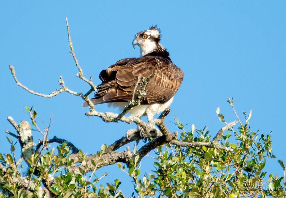 Osprey Before Taking Off from the Tree Tops by TJ Baccari Photography
