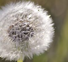 Dandelion gets Blown away by Faintfoto