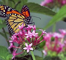 Monarch in pink ixora by ♥⊱ B. Randi Bailey