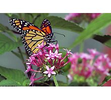 Monarch in pink ixora Photographic Print