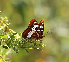 Lorquin's Admiral Butterfly by Janece Moment