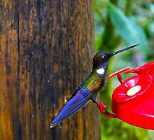 Colorful Hummingbird In Mindo by Al Bourassa