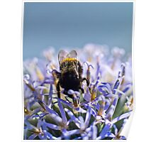 Bee on blue headed thistle Poster