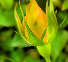 Yellow Rose of Texas by aprilann