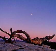 Ansel's Jeffrey Pine/Yosemite Ntnl. Park, Cal. (1195 views) by Nancy Richard