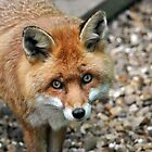 Red Fox ~ Shepreth Wildlife Park by Samantha Creary