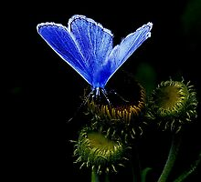The Common Blue by snapdecisions