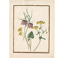 Circle of Madeleine Françoise Basseporte 1701-1780 Ciclamen (left). Checked lily (Frittilaria meleagroides) (center). Ravinelle (right).  Photographic Print