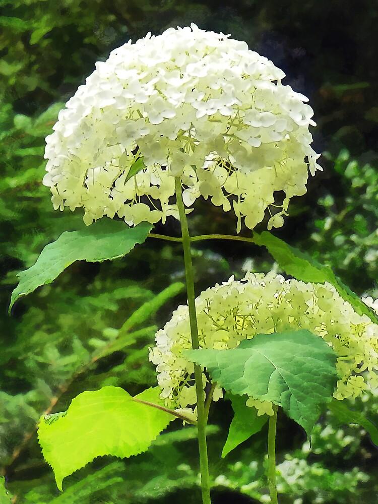 White Hydrangea in Garden by Susan Savad