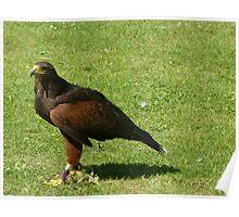 Falcon at Arundel Castle Poster