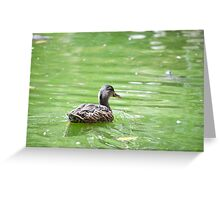 Duck in Water Greeting Card