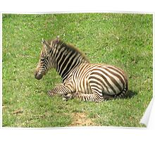 Wee Little Zebra ~ Poster