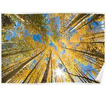 Aspen Trees Looking Up Poster