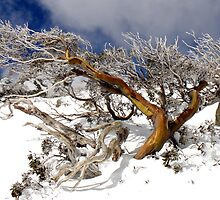 Snow gum I by geophotographic