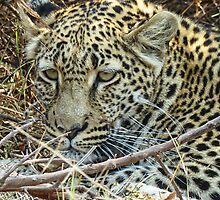 Leopard by Linda Sparks