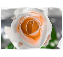 White N Orange Rose Poster