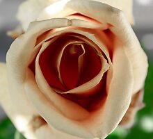 White and Red Rose by Sotiris Filippou