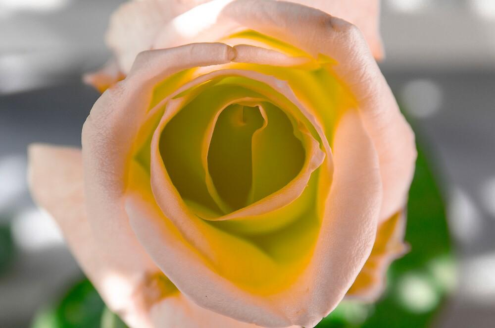Pink and Orange Rose by Sotiris Filippou
