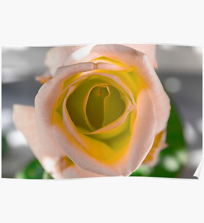 Pink and Orange Rose Poster