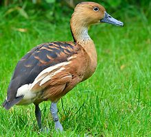 Rosse fluiteend / Fulvous Whistling Duck by MaartenMR