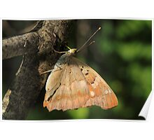 Lesser Purple Emperor butterfly on branches, Rila Mountains, Bulgaria Poster