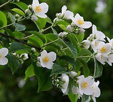 White Flowers by Sotiris Filippou