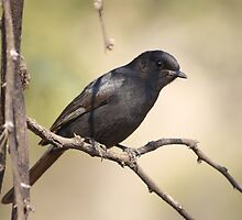 Southern Black Flycatcher by Turaco