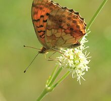 Marbled Fritillary Butterfly, Rila Mountains, Bulgaria by Michael Field