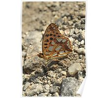 Queen of Spain Fritillary butterfly on dirt track, Rila Mountains, Bulgaria Poster
