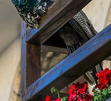Peacock Pride by Sotiris Filippou