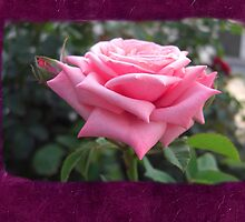 Pink Roses in Anzures 6 Blank P8F0 by Christopher Johnson