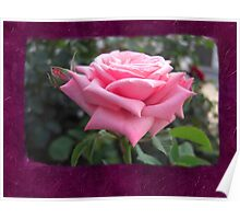 Pink Roses in Anzures 6 Blank P8F0 Poster