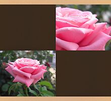 Pink Roses in Anzures 6 Blank Q3F0 by Christopher Johnson