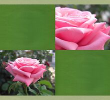 Pink Roses in Anzures 6 Blank Q5F0 by Christopher Johnson