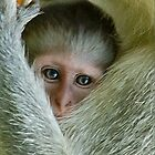 ALWAYS TUCKED IN - THE VERVET MONKEY - ,CERCOPITHECUS PYGERYTHRUS - Blou Aap by Magaret Meintjes