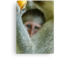 ALWAYS TUCKED IN - THE VERVET MONKEY - ,CERCOPITHECUS PYGERYTHRUS - Blou Aap Canvas Print