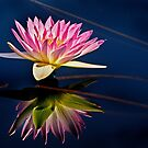 Reflections of a Waterlily by cclaude