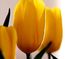 Tulips by Alex Volkoff